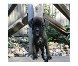 AKC Boxer Puppies - 1 Females Available